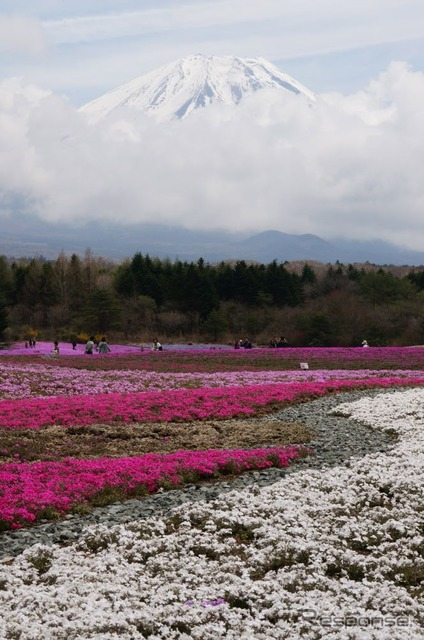 Fujikawaguchiko town in Fuji shibazakura Festival they blossom during golden week. (picture photographed in 4/25)
