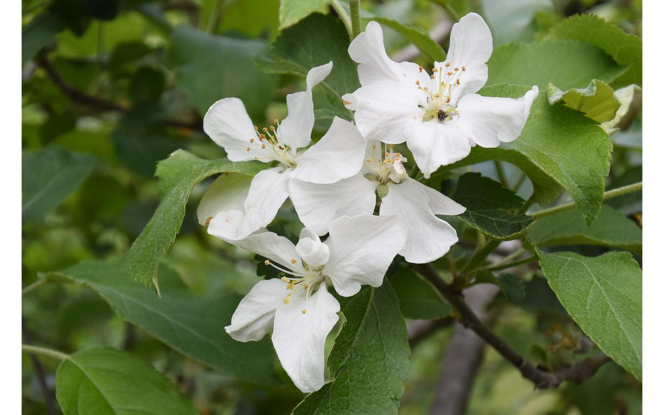 りんごの花がまだ残っていた。