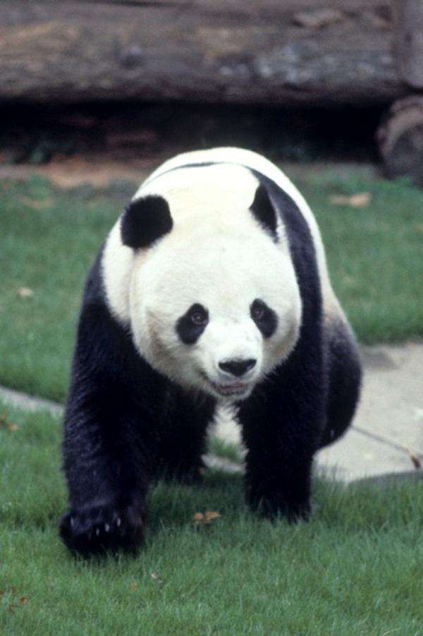 [動画]歴代パンダ…カンカン&ランラン 1972年来園 2枚目の写真・画像