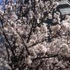 【新聞ウォッチ】東京の「さくら巡り」は高級ミニバンのお花見タクシーで