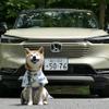 【柴犬ハルの気になるクルマ】新型 ホンダ ヴェゼル とハルの夏支度