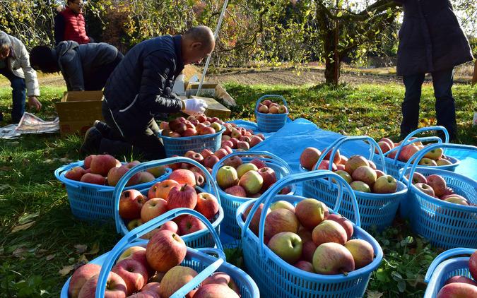 収穫したりんごをおおむね松竹梅の3段階に分類。