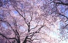 秩父鉄道、「お花見列車」桜びゅートレイン&急行・SLさくら号運行 画像