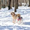 八ヶ岳わんわんパラダイスのドッグラン、森のドッグガーデン。今は雪で覆われているが、犬は雪が大好き。足をとられながらも思いっきり走り、雪遊びを楽しんだ