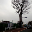 橋のたもとにある「ケヤキの大木」(標高21.5m)は、樹木医の立会いのもと、根系調査が実施され、道路工事に先行して土壌改良工事を実施し、現地保存される