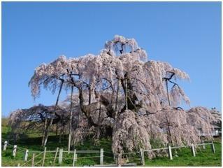 福島県の三春滝桜
